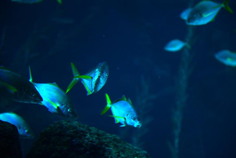 La biodiversidad de la Bahía de El Confital: El jurel
