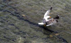 Una gaviota patiamarilla aletea en el Charcón