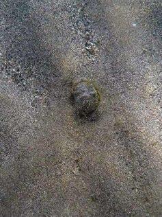 Un cangrejo de arena en Las Canteras