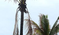 Exceso de palomas sobre la arena y pésimo estado de las palmeras cocoteras de Las Canteras