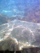 Precaución, las mantelinas se acercan a la orilla para desovar