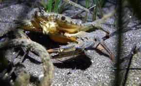 Aumenta el número de avistamientos de la especie invasora Cronius ruber en Las Canteras