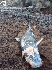 Investigadores de la ULPGC estudian si la ingestión de basura puede matar a las ballenas y delfines