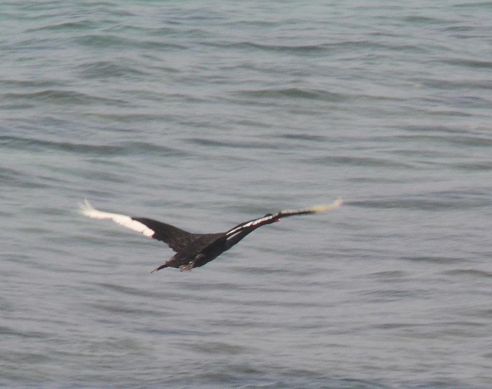 Un cisne negro de paseo por Las Canteras