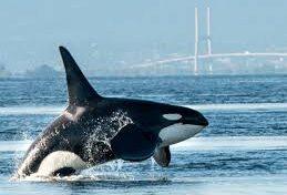 La ULPGC publica en Science un trabajo sobre la posibilidad de desaparición de las orcas a causa de contaminantes químicos de dispositivos eléctricos