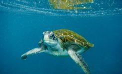 Investigan la única colonia de tortugas verdes de Europa, al sur de Canarias