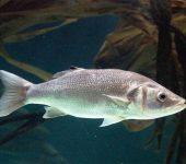 Investigadores del CSIC desarrollan un test que predice el sexo de los peces