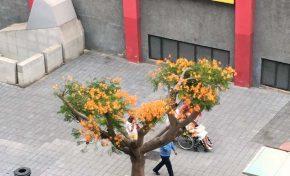 El flamboyán trasplantado en la calle Galicia por las obras de la MetroGuagua vuelve a florecer (contenido patrocinado)