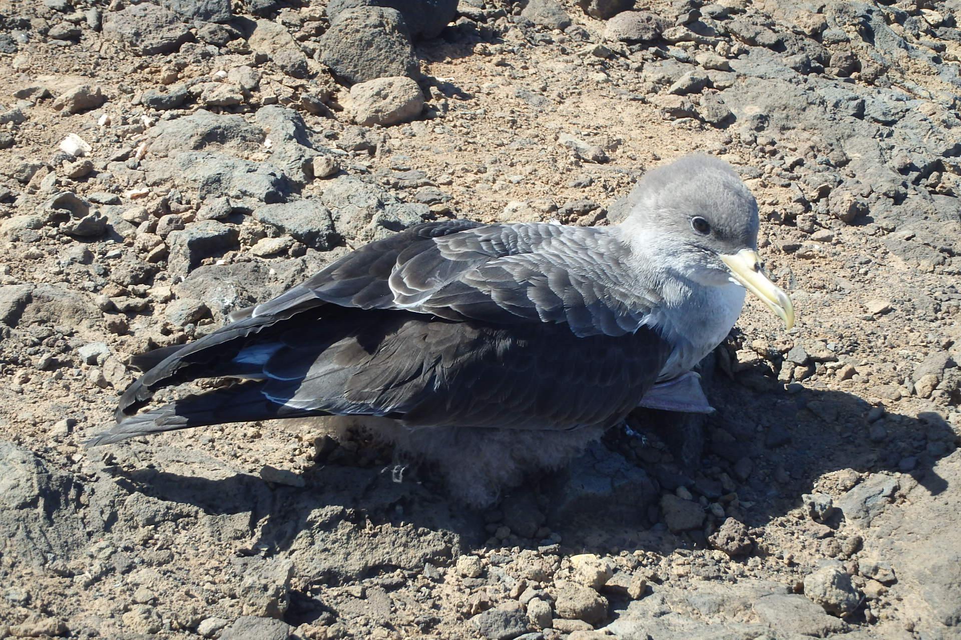 Suelta de pardelas en la costa de Arucas