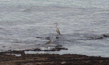 Dos garzas grises pescan en Los Lisos