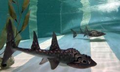 Loro Parque criará el tiburón raya por primera vez en España