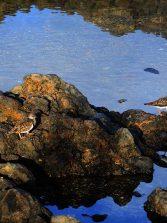 Vuelvepiedras en las rocas de La Puntilla