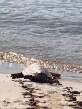 Se devuelve al mar una tortuga que había sido encontrada herida