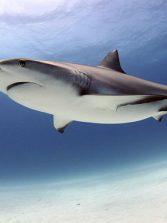 Así evolucionaron los tiburones gigantes