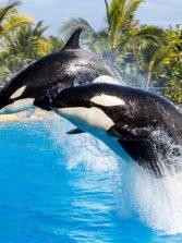 Las orcas 'asesinas' son en realidad pacíficas y sensibles
