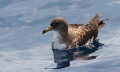 La consejería de Transición Ecológica alerta de la grave amenaza que supone la contaminación por plásticos para las aves marinas de las Islas