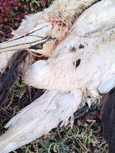 La contaminación marina por plásticos: una importante amenaza para las aves marinas canarias