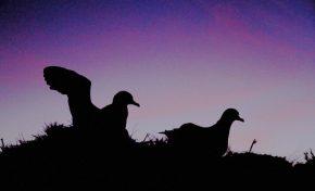 Las seis amenazas que acosan a las pardelas y los petreles