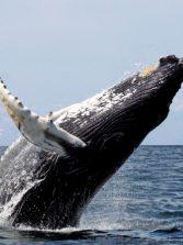 La ballena jorobada es el animal acústicamente más complejo