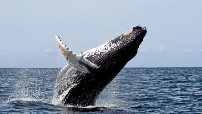 Ben Magec – Ecologistas en Acción exige a las administraciones la reducción de líneas de fast ferry y la creación de un santuario para proteger a los cetáceos