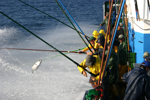 El cambio climático redistribuirá los atunes