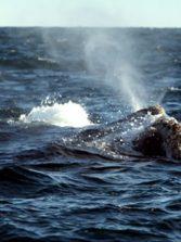 Las ballenas en las aguas españolas seriamente amenazadas por el cambio climático