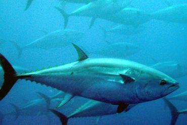 Ni atún ni pez espada a embarazadas y niños menores de 10 años