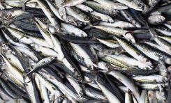 El 80% de las caballas que se pescan en aguas cercanas a Canarias llevan en su estómago pequeños fragmentos de plástico