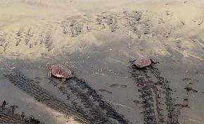 Rescatadas dos tortugas en la Cicer por varios surferos. Vídeo