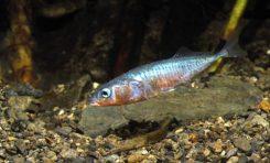 Descubren por qué algunos peces marinos consiguen adaptarse a ecosistemas de agua dulce