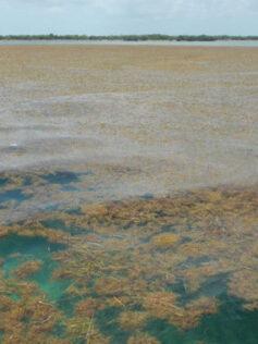 Detectan la mayor proliferación de algas del mundo