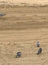 Pescadores y expertos ven relativamente normal que una gaviota se coma una paloma