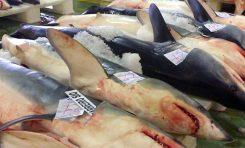 La sobrepesca amenaza a los tiburones oceánicos