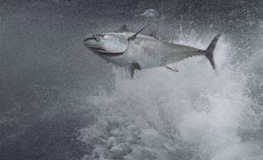 Un nuevo método genético permite identificar el origen de los atunes rojos que surcan el Atlántico