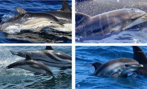 Hallan por primera vez en el mundo un ejemplar de delfín híbrido en alta mar