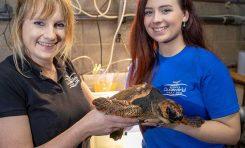 Una tortuga boba encontrada en Irlanda viajará a Gran Canaria con Ryanair
