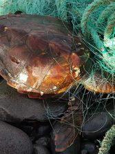 Rescatan a dos tortugas enredadas en El Confital