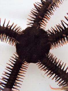 Las estrellas de mar que pueden ver sin ojos