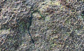 La biodiversidad de la Bahía de El Confital: El poliqueto verde