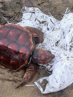 Socorren a una pequeña tortuga boba en la orilla de la playa