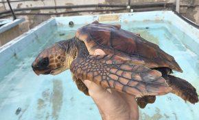 Esperanza, la tortuga rescatada en Las Canteras, lista para volver al mar