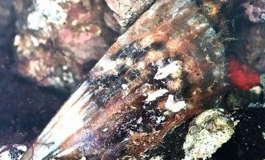 La biodiversidad de la Bahía de El Confital: El abanico