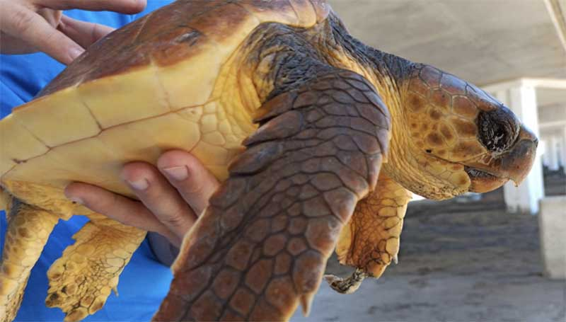 Extraen más de 100 trozos de macroplásticos de una tortuga rescatada en Las Canteras