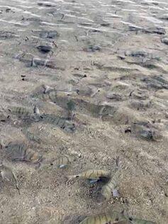 Cuando volvimos a la playa los sargos de El Peñón seguían ahí. Vídeo