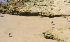 Las aves de Las Canteras proliferaron mientras estábamos confinados