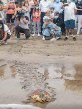 La tortuga encontrada en la Cicer y que perdió dos falanges regresó al mar