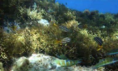 El 'mujo picón' del litoral canario, en peligro de extinción, elemento clave en la lucha contra el cambio climático en las Islas