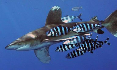Aparece varado en la orilla de Las Canteras el cuerpo de un juvenil de pez piloto, el amigo de los tiburones