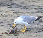 ¿Por qué se están multiplicando los ataques de las gaviotas a las palomas?
