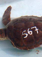 Amputan la aleta de una tortuga encontrada en Las Canteras por culpa de las redes de pesca